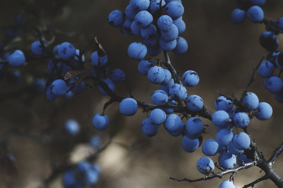 blueberries-1031221_960_720